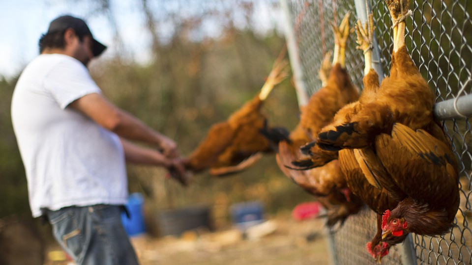 A man slaughters chickens hung on a fence