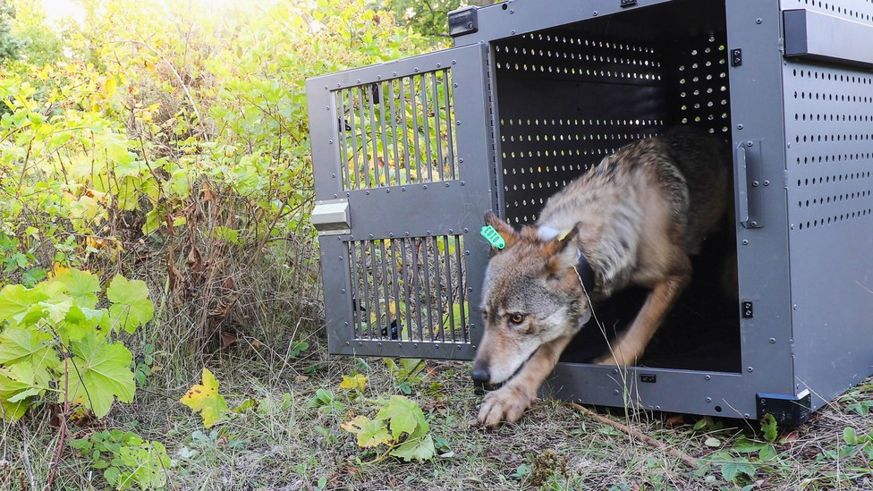 A wolf steps out of a metal crate on Isle Royale in 2018