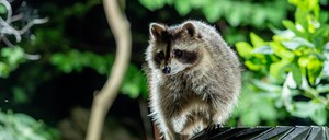 A raccoon perches on a park trash can at night.