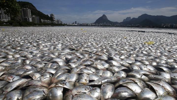 Vast piles of dead fish in Rio de Janeiro