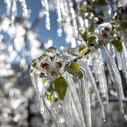 A blossoming tree branch is encased in ice.