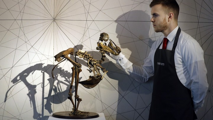 A dodo skeleton displayed by an employee of Christie's auction house.