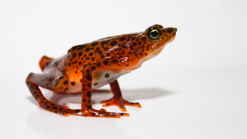 A Toad Mountain harlequin frog