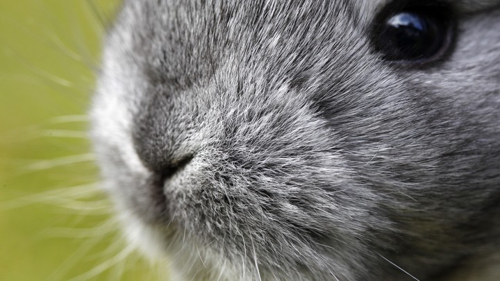 The face of a gray rabbit