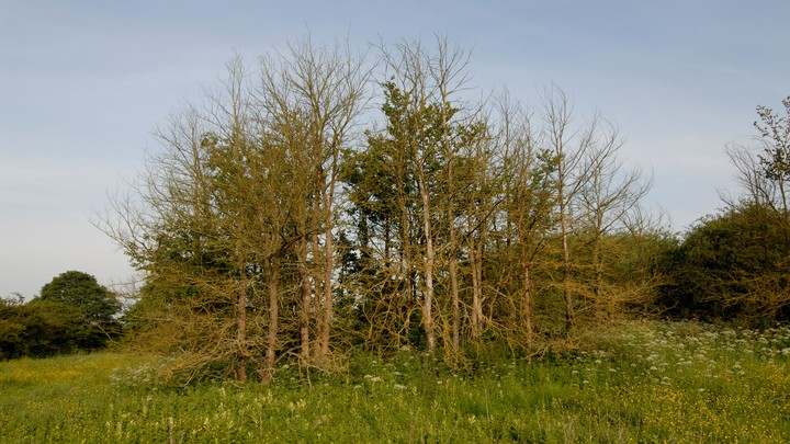 A picture of trees with Dutch Elm disease.