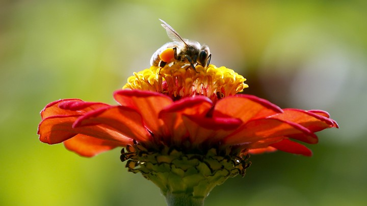 A bee perched on a red flower