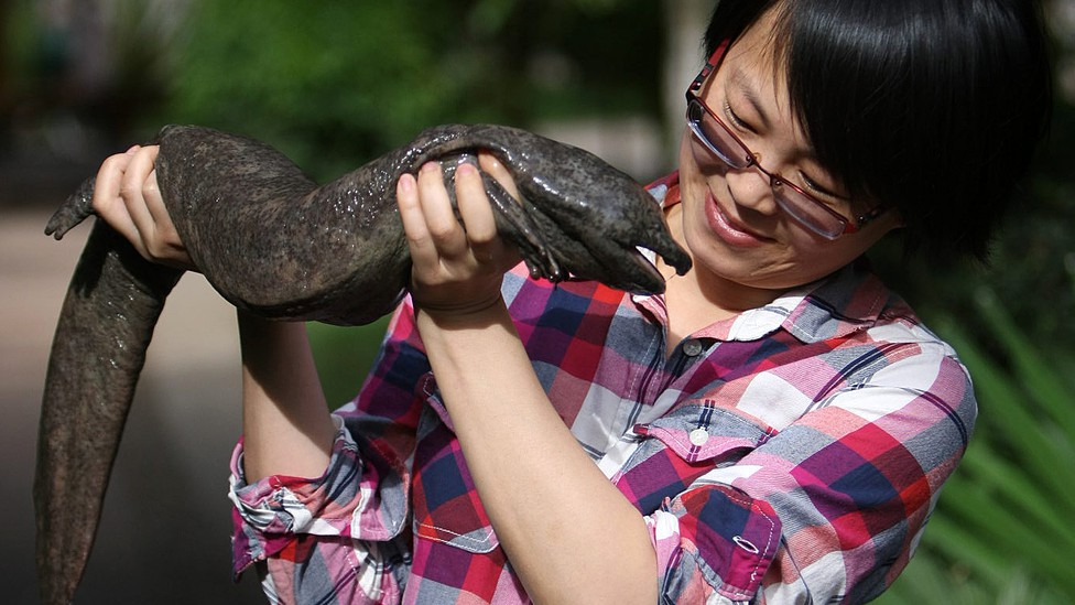 Jing Che holds a Chinese giant salamander
