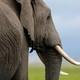 A savannah elephant in Amboseli National Park