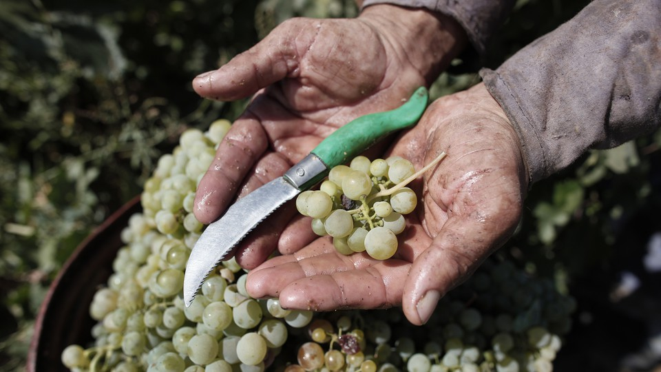 A worker holds grapes and a knife in his hands at a vineyard.