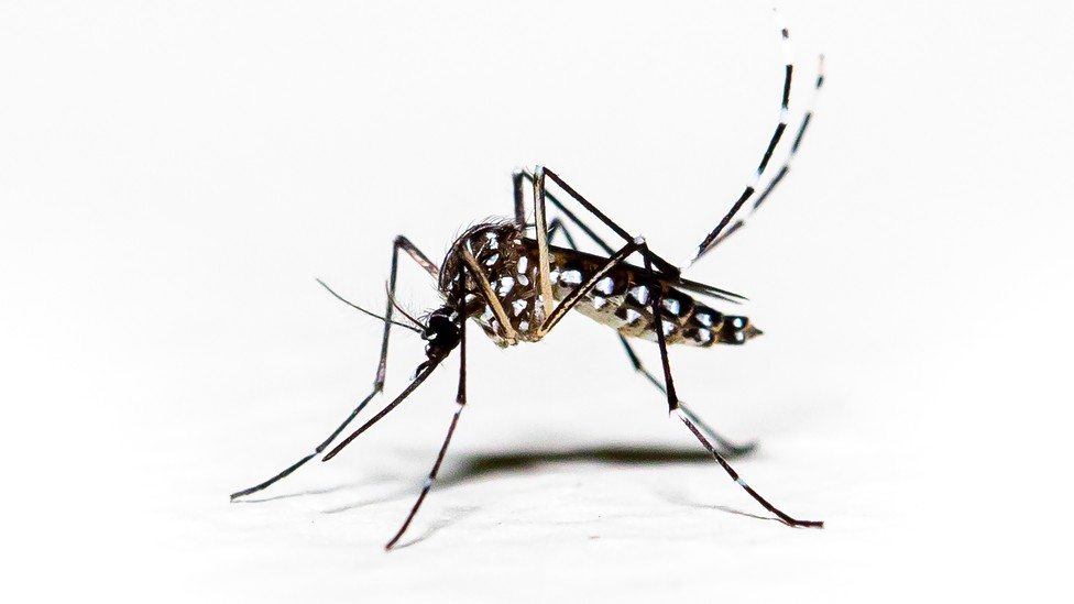 Aedes aegypti, the mosquito that spreads dengue fever