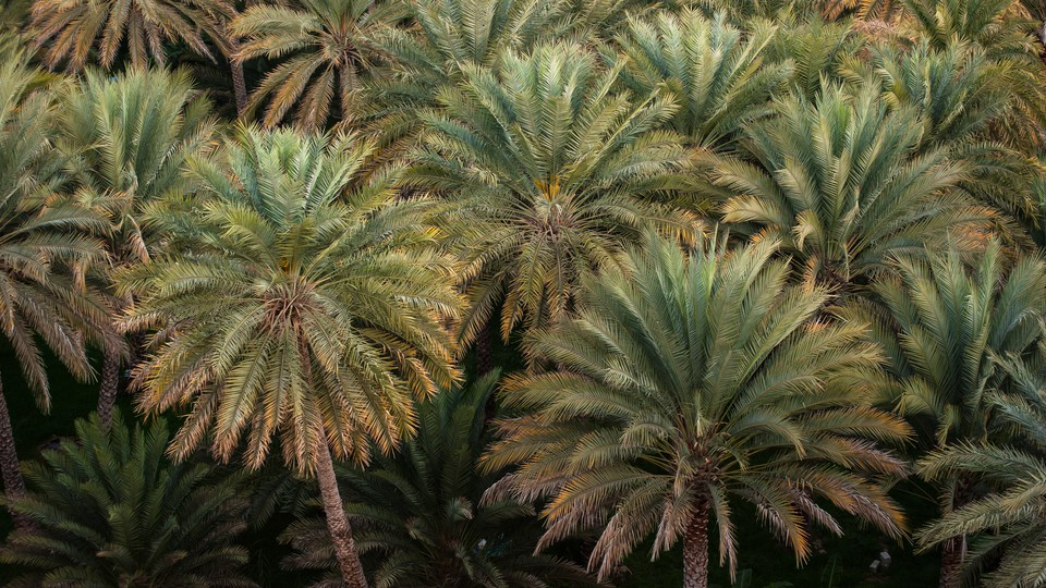 A date-palm grove in a village (not the trees planted from 2,000-year-old seeds)