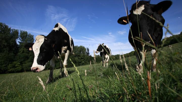 Holstein dairy cows grazing