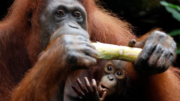 Anita the orangutan, and her baby Khansa, at Singapore Zoo