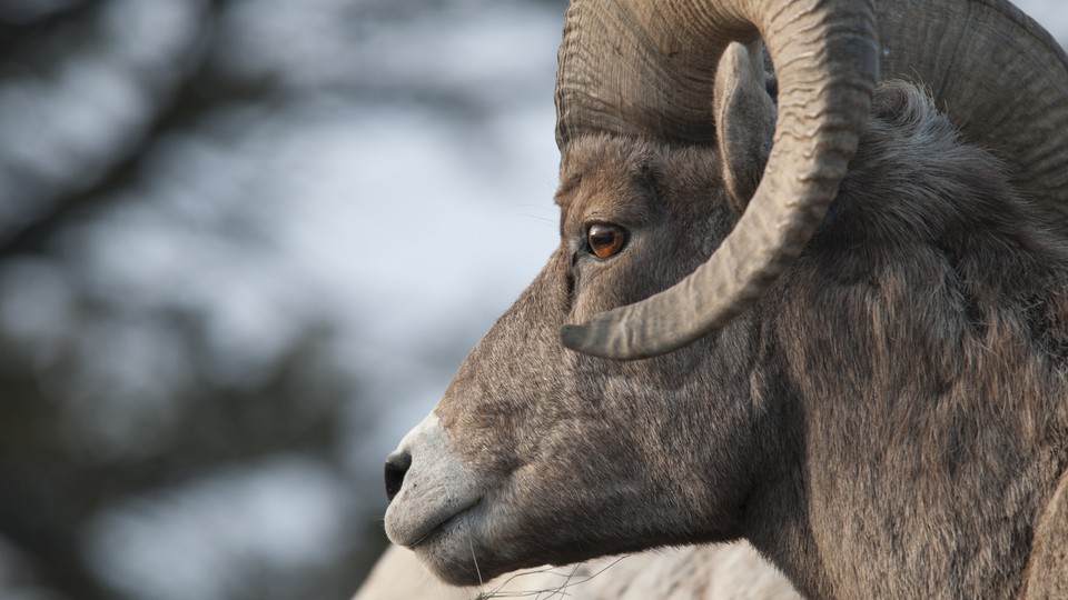 A bighorn sheep in Yellowstone National Park