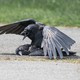 A crow mates with a dead crow