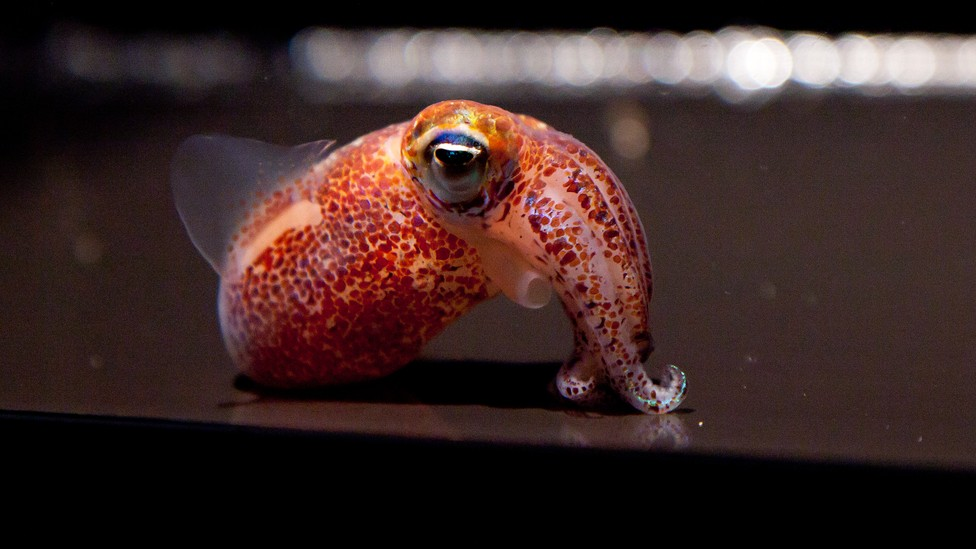 A Hawaiian bobtail squid