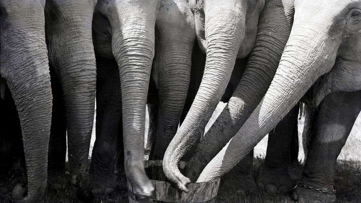 several elephant trunks reaching into the same bucket
