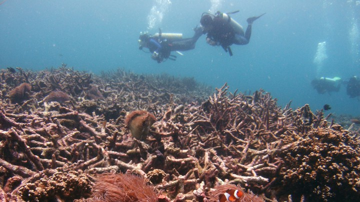 Divers swim over a bed of dead corals.