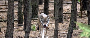 A wolf in an outdoor enclosure at a game park in Gross-Schoenebeck, north of Berlin.