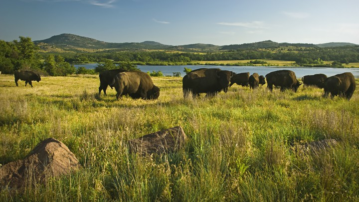 Bison grazing in a field