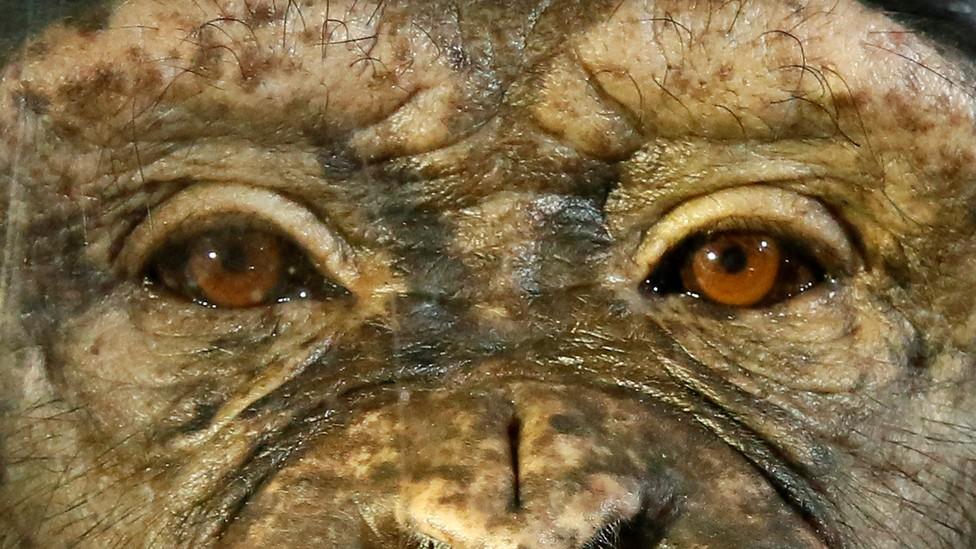 The eyes of a female chimpanzee