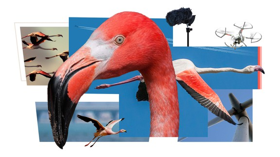 A collage of flamingo photographs
