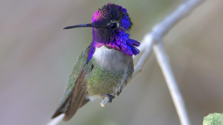 A male Costa's hummingbird
