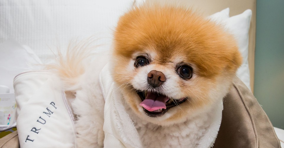 The Unsettling Truth About The World S Most Adorable Dog The Atlantic