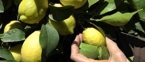 A hand reaches out to inspect a lemon on a lemon tree.