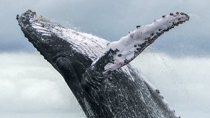 A humpback whale jumps out of the ocean