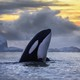 A killer whale in Norway