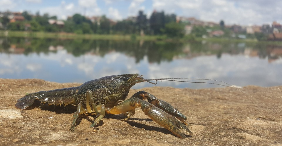 A Pet Crayfish Can Clone Itself, and It's Spreading Around ...