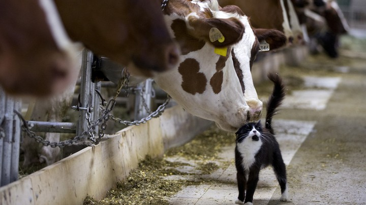 Dairy cows nuzzle a barn cat at a farm in Granby, Quebec