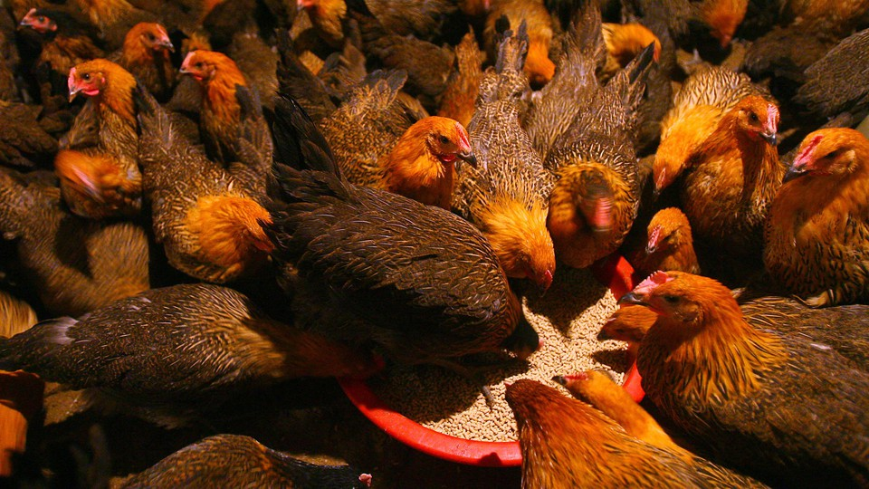 Chickens eat feed at a poultry wholesale market
