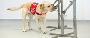 photo: a dog being trained to detect Covid-19