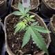A newly transplanted cannabis cutting