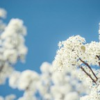 The small white blossoms of a Bradford pear tree.