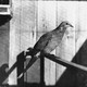 For much of the 19th century, passenger pigeon was a staple of American cuisine.