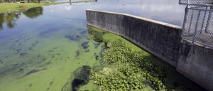 Toxic algae collects at a dam on a river in Florida.