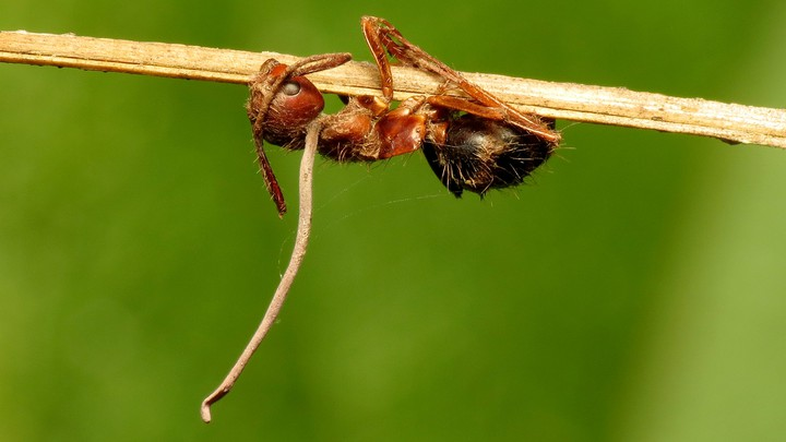 The stalk of a fungus extends out of an ant's head