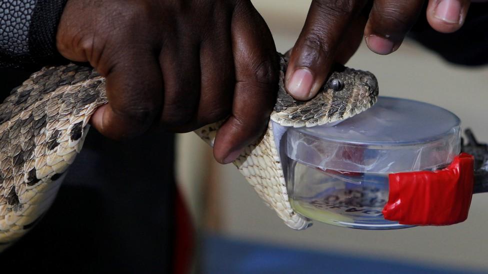 A puff adder is milked for venom in Kenya.