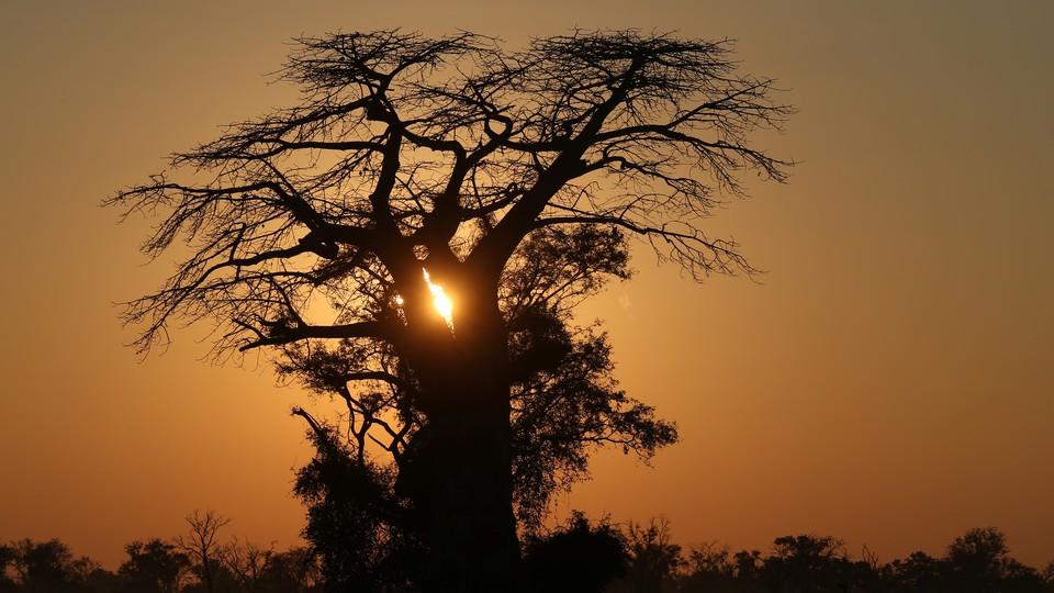 A baobab tree in the Okavango delta