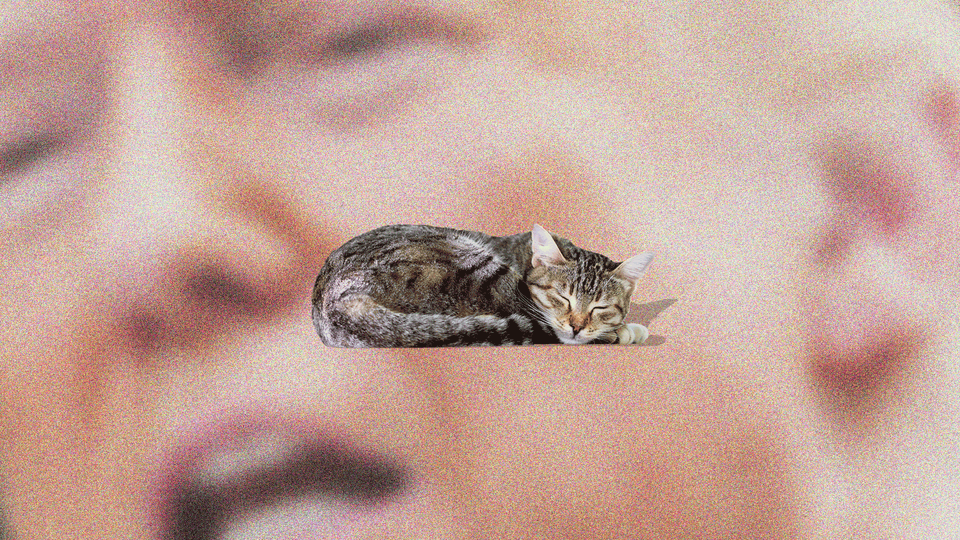 An illustration of Trump with a sleeping cat.