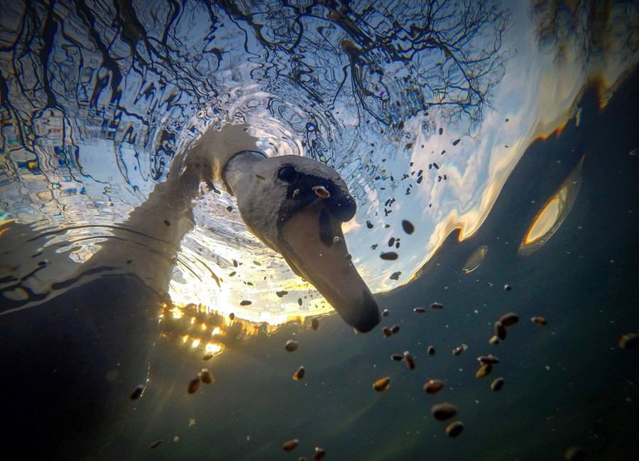 A swan pokes its head underwater to feed, seen from below.