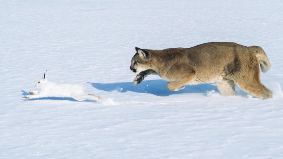 A cougar chasing a snowshoe rabbit through the snow