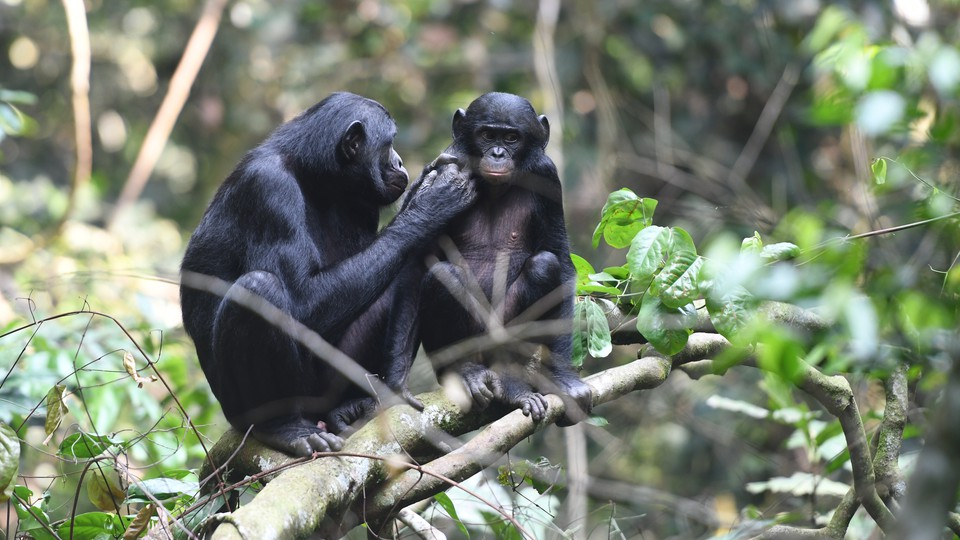 A bonobo mother grooms her son.