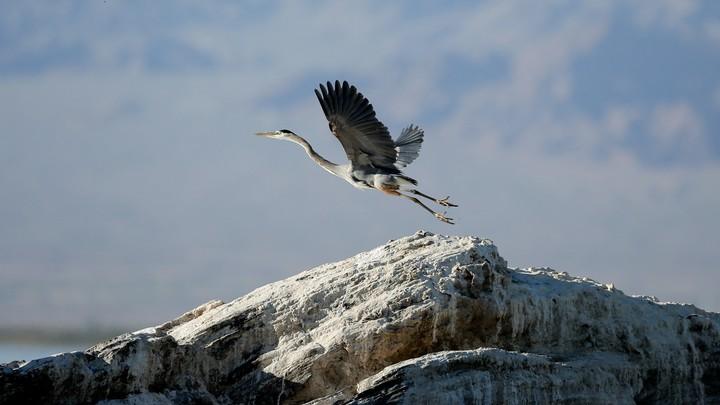 A Great blue heron takes flight on rocks above the Salton Sea near Niland, California.