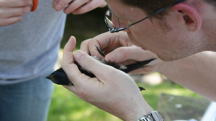 A man holds and examines a purple martin.