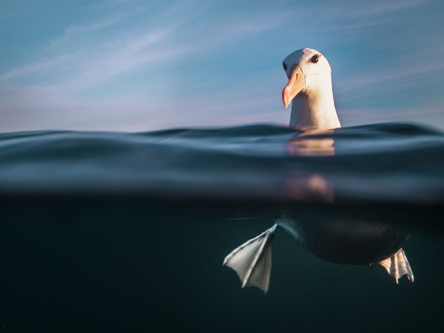 An albatross swims, its feet visible underwater, its head above.