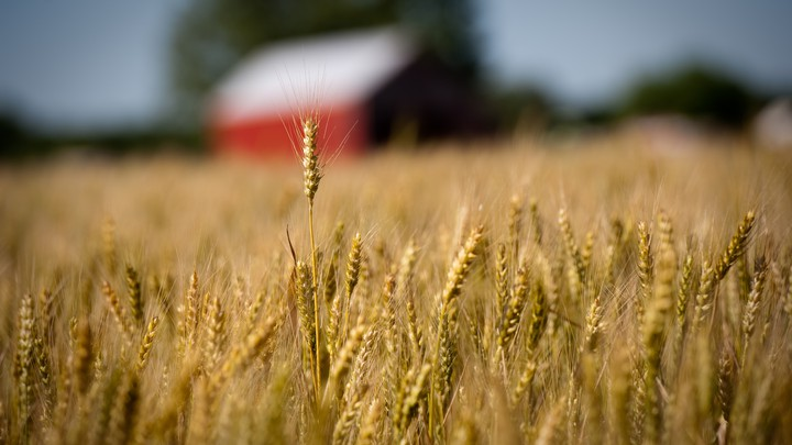 A field of wheat in front of a red building